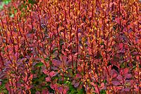 Berberis thunbergii 'O'Byrne'. Sunjoy® Tangelo Barberry shrub, orange foliage barberry shrub, O'Byrne Garden