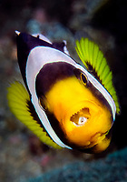 """Saddleback anemonefish, Amphiprion polymnus, with a """"tongue"""" isopods, Cymothoid sp., visible in its mouth, Tulamben, Bali, Indonesia, Pacific Ocean"""