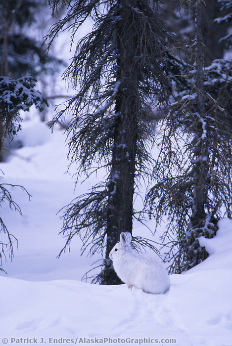 Snowshoe hare hides on the snow in a boreal forest near the Brooks Range, Alaska