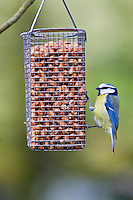 Blue Tit perched on a birdfeeder, The Cotswolds, United Kingdom