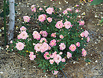 Splish Splash miniature Rose bush, Rosa hybrid