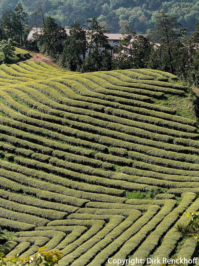 Teeplantage Dahaen Dawon bei Boseong, Provinz Jeollanam-do, S&uuml;dkorea, Asien<br /> Tea plantation Dahaen Dawon near Boseong,, province Jeollanam-do, South Korea, Asia