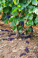 In a Chambertin Grand Cru vineyard: green harvest (vendange vert) bunches of Pinot Noir removed and on the ground to lower yields
