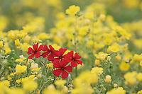 Drummond's Phlox (Phlox drummondii), Bladderpod (Lesquerella argyraea), Gonzales County, Texas, USA