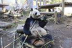 A female giant panda Shin Shin is seen at Ueno Zoo in Tokyo, Japan on March 12, 2018. (Photo by Koji Aoki/AFLO)