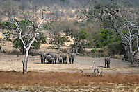 Kruger National Park, Mpumalanga, South Africa, september 2011. a herd of elephants arrive at the water hole.  Bordered by Mozambique and Zimbabwe, Krugerpark is about 65km wide and 350km long. It is south Africa's largest National Park and one of the world's best known nature conservation areas. From your own vehicle, on tarmac and dirt roads, you can get up close and personal experiences with the enormous wildlife diversity. Photo By Frits Meyst/Adventure4ever.com.