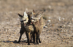 Bat-eared foxes, Otocyon megalotis, playfighting as part of pair bonding, Etosha national park, Namibia