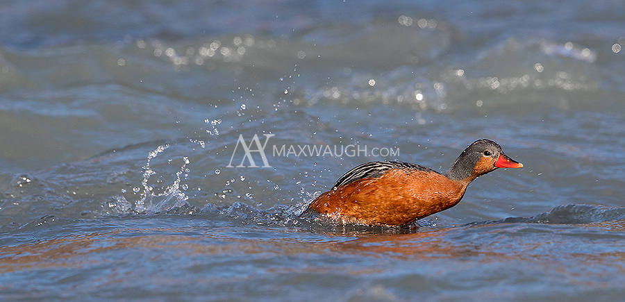 This trip gave me my first chance to get close photos of the Torrent duck, a dynamic species that prefers hanging out near river rapids (much like one of my favorite waterfowl species, the Harlequin duck).