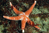 Bloody Henry Starfish - Henricia aculata