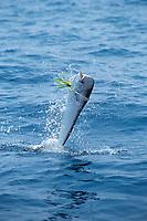 dolphin fish or mahi mahi, or dorado, Coryphaena hippurus, Florida Strait off Miami, Atlantic