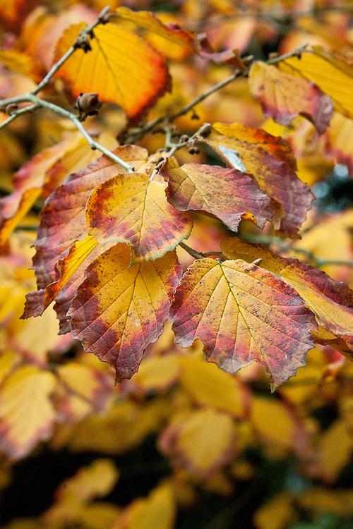 Autumn foliage of witch hazel (Hamamelis x intermedia 'Hiltingbury'), early November.