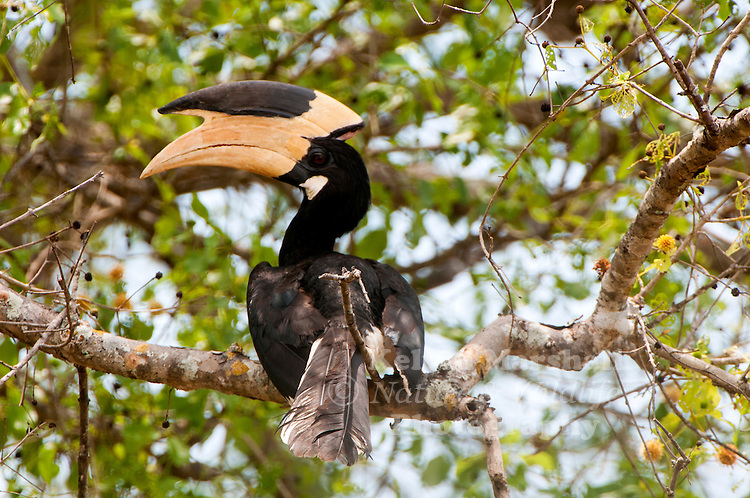 Malabar pied hornbill (Anthracoceros coronatus), also known as lesser pied hornbill, is a bird in the hornbill family, a family of tropical near-passerine birds found in the Old World. Yala National Park - Sri Lanka.
