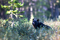 Kananaskis Country bear in the berry patch. <br /> <br /> I'm not 100% positive about the identification of this bear, he has snout coloring like a black bear and a hump like a grizzly.  He is darker than most grizzlies but his face is fat like a grizzlies.