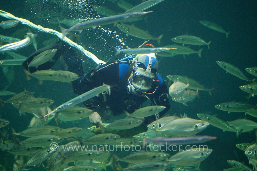 Meeresaquarium, Taucher füttert die Fische in einem riesigen Becken während einer Vorführung, marines Aquarium mit Meeresfischen, Schauaquarium