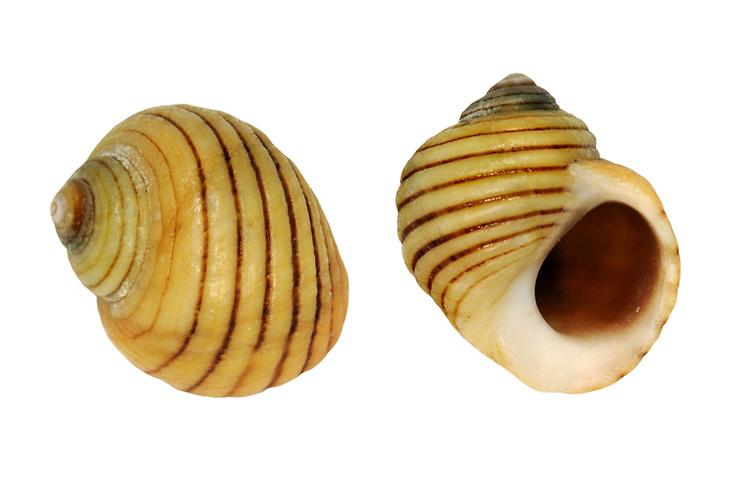 Black-lined Periwinkle - Littorina nigrolineata