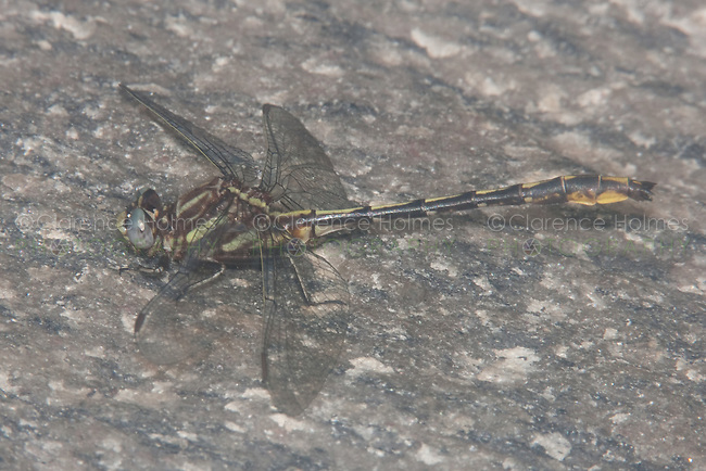 Lancet Clubtail (Gomphus exilis) Dragonfly - Male, Cranberry Lake Preserve, Westchester County, New York