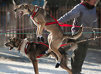 Dog teams are in a hurry to get going at the ceremonial start of the 2014 Iditarod Dogsled Race in downtown Anchorage, Alaska. Sixty-nine mushers paraded their teams through Anchorage today and will depart from the official start in Willow tomorrow to begin the 975-mile race to Nome.