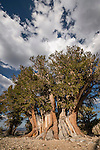 The Patriarch bristlecone pine tree at the Patriarch Grove at 11,000 feet at the bristlecone pine forest in the White Mountains of Inyo County, Calif.