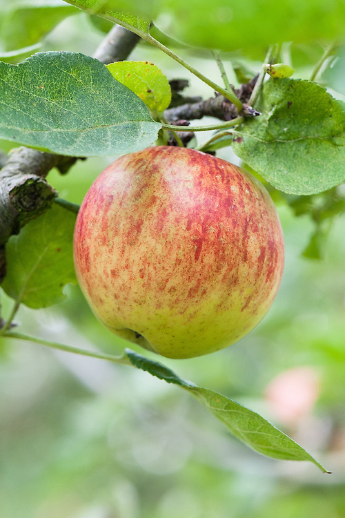 Apple 'Ames', mid September. An American dessert apple, from Iowa, first introduced in 1921.
