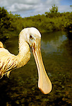FL: Florida Everglades National Park, bird, roseate spoonbill  .Photo Copyright: Lee Foster, lee@fostertravel.com, www.fostertravel.com, (510) 549-2202.Image: flever254