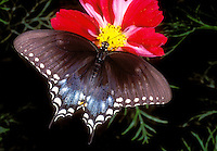 390490005 a captive spicebush swallowtail butterfly papilio troilus feeding on a red flower in a southern california butterfly garden