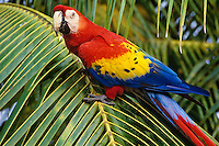 Scarlet Macaw (Ara macao), Mexico south to Brazil