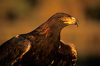 521090050 a portrait of a captive golden eagle hailaeetus chrysaetos with wings flexed for takeoff in late afternoon golden sunlight