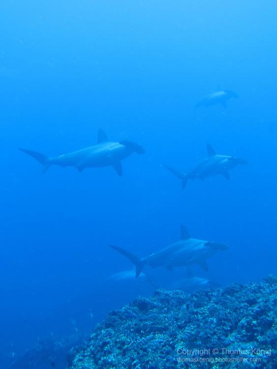 Gun Shui Bi, Green Island -- Group of hammerheads swimming by.