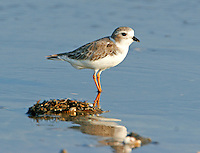 Adult piping plover in non-breeding plumage in September at Bolivar Point, TX
