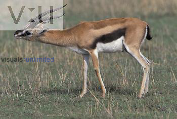 Thomson's Gazelle ,Gazella thomsoni, leaving a scent to mark its territory by rubbing a stick with its orbital gland, East Africa.