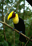 Toucan bird in Costa Rica