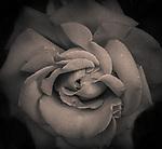 6.17.17 - Bug on a Rose...