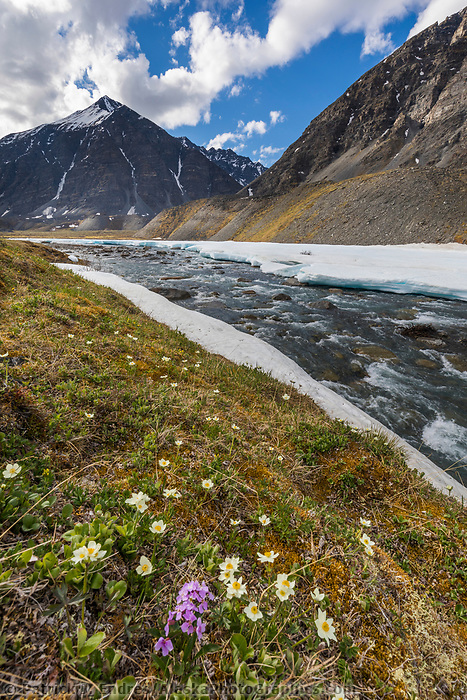 Landscape of mountain aven and parry's wallflower, wind flower, and the itkillik river in the Brooks Range, Gates of the Arctic National Park, Alaska.