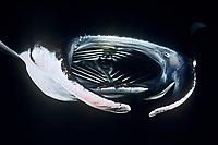 reef manta ray, Manta alfredi, feeding on plankton at night, Kona Coast, Big Island, Hawaii, USA, Pacific Ocean