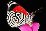 Butterfly, Tambopata-Candamo National Reserve, Peru