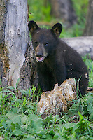 Black Bear cub sitting by a tree
