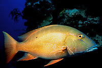 mutton snapper, Lutjanus analis, Grand Cayman, Cayman Islands, Caribbean Sea, Atlantic Ocean