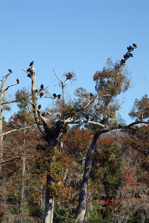 American black vultures hang out together.