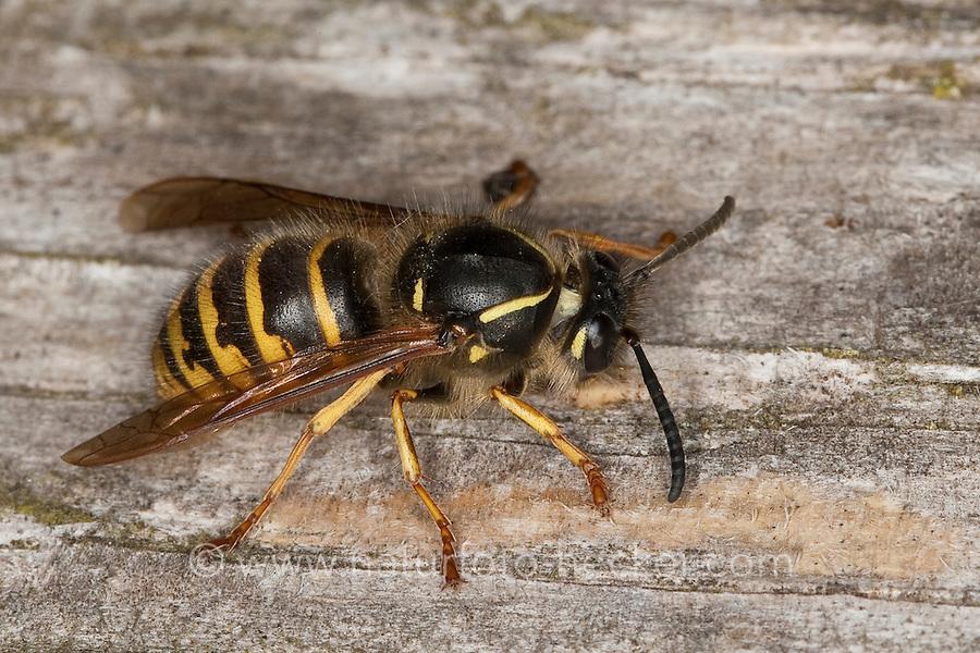 Sächsische Wespe, Königin sammelt Holz für ihren Nestbau, Kleine Hornisse, Dolichovespula saxonica, Vespula saxonica, Saxon wasp, Faltenwespen, Papierwespe, Papierwesen, Vespidae,