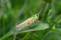 Common Green Grasshopper - Omocestus viridulus