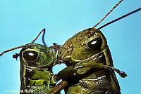 GF11-001a  Funny Grasshopper - kissing