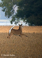 0608-1002  White-tailed Deer, Alert and Running with White Tail Up in Autumn, Buck with Antlers, Odocoileus virginianus  © David Kuhn/Dwight Kuhn Photography.