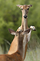 White-tailed Doe (Odocoileus virginianus) asserting her dominance over the young male.