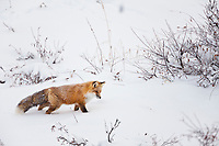 Red fox hunts in the snow covered tundra of Alaska's arctic north slope.