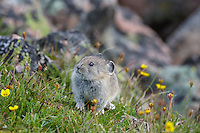 Young American pika (Ochotona princeps) among cinquefoil wildflowers.  Beartooth Mountains, Wyoming/Montana border.  Summer.  This photo was taken in alpine setting at around 11,000 feet (3350 meters) elevation.