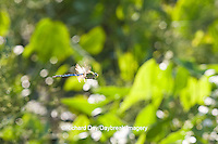 06361-00716 Common Green Darner (Anax junius) male dragonfly in flight over wetland, DuPage Co.  IL