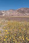 Death Valley National Park, California; fields of Desert Gold (Geraea canescens) wildflowers growing in the foothills of the Amargosa Mountain Range during a rare super bloom after a wet El Nino winter