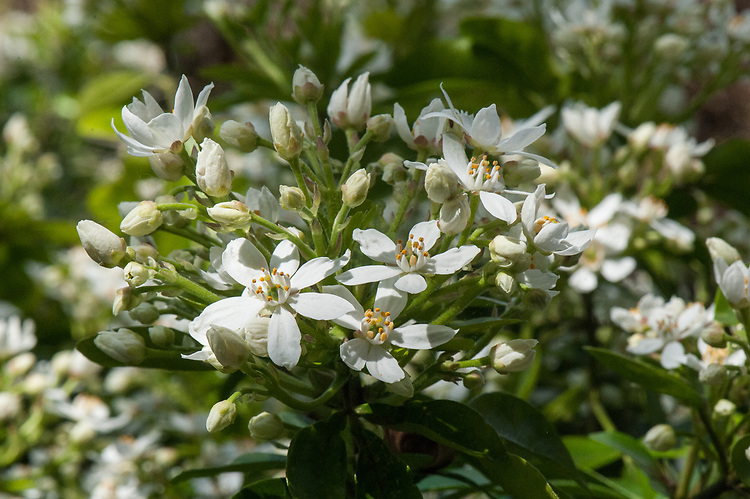 Choisya ternata, mid May. An evergren shrub with fragrant white flowers, commonly known as Mexican orange blossom or Mexican orange flower.