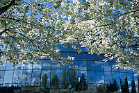 An office building's glass windows reflect trees, below cherry blossom trees in spring bloom. Bellevue, Washington State.