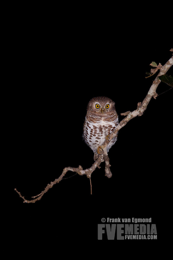 African Barred Owlet (Glaucidium Capense)..At night..June 2009, winter..Balule Private Nature Reserve, York section..Greater Kruger National Park, Limpopo, South Africa.